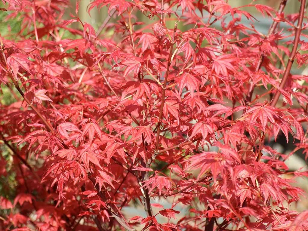 ACER - palmatum - Shin deshojo