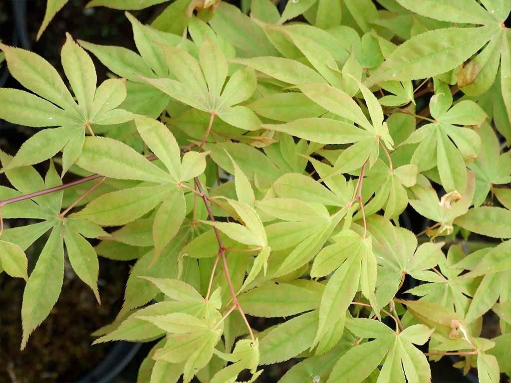 ACER - palmatum - Shuzan ko