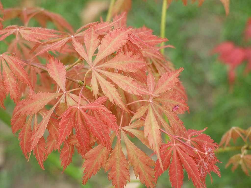 ACER - palmatum - Shime no uchi
