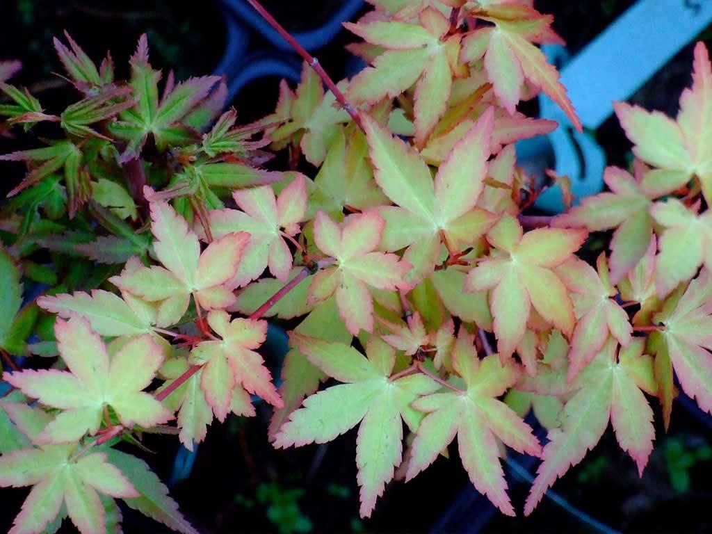 ACER - palmatum - Sode nishiki