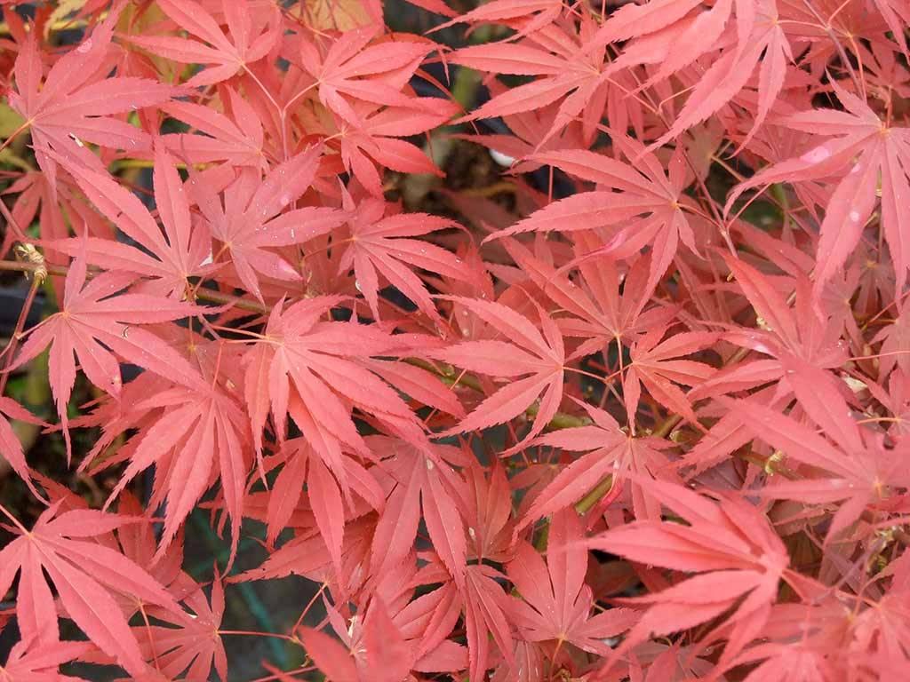 ACER - palmatum - Shikage ori nishiki