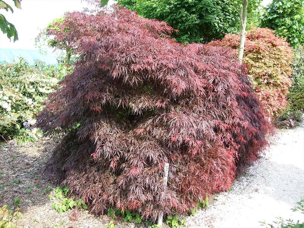 ACER - palmatum - Stella Rossa