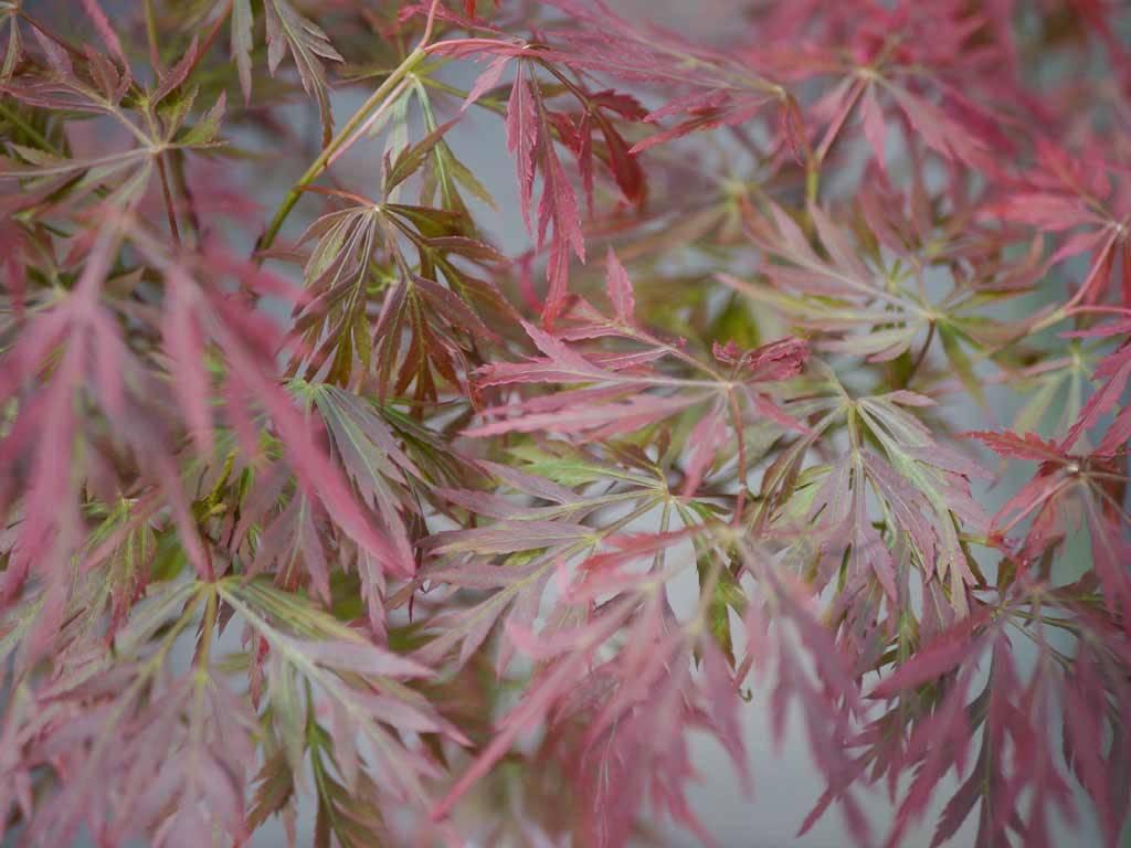 ACER - palmatum - Teri ha