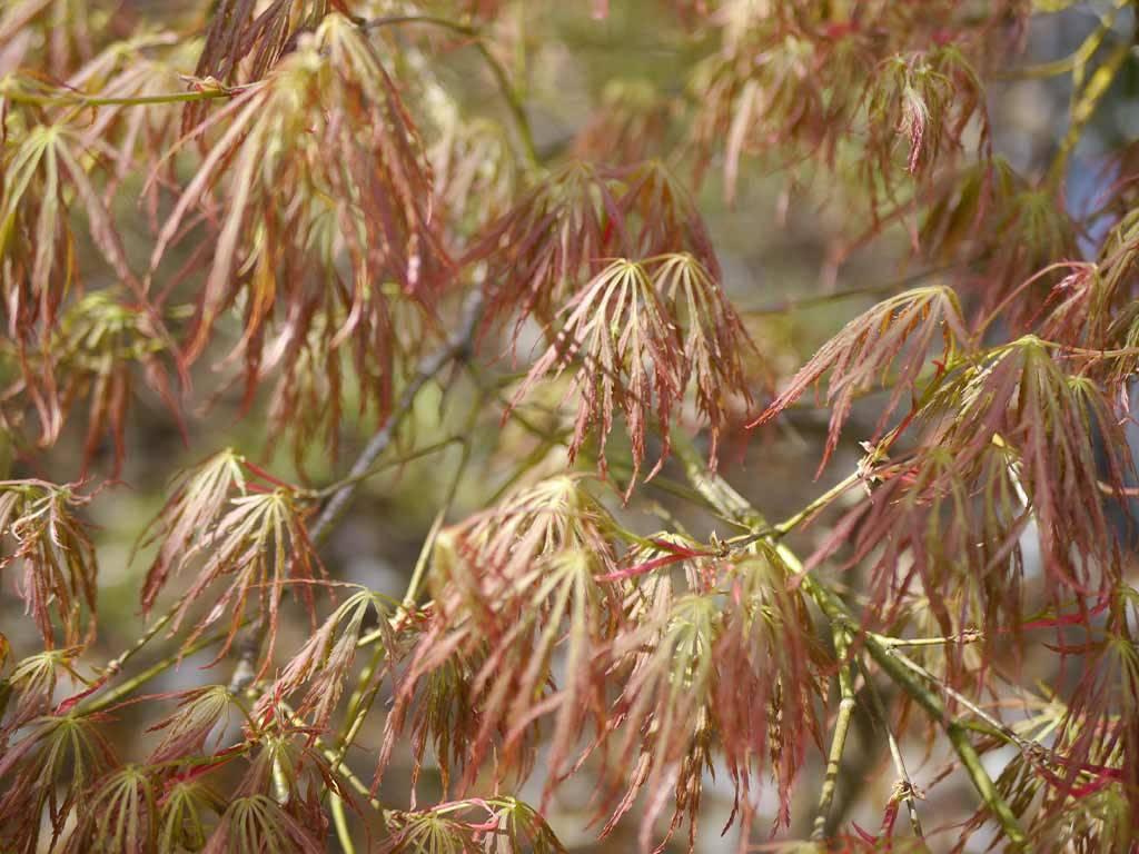 ACER - palmatum - Toyama nishiki
