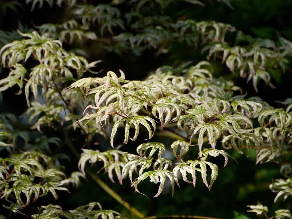 ACER - palmatum - Ukigumo