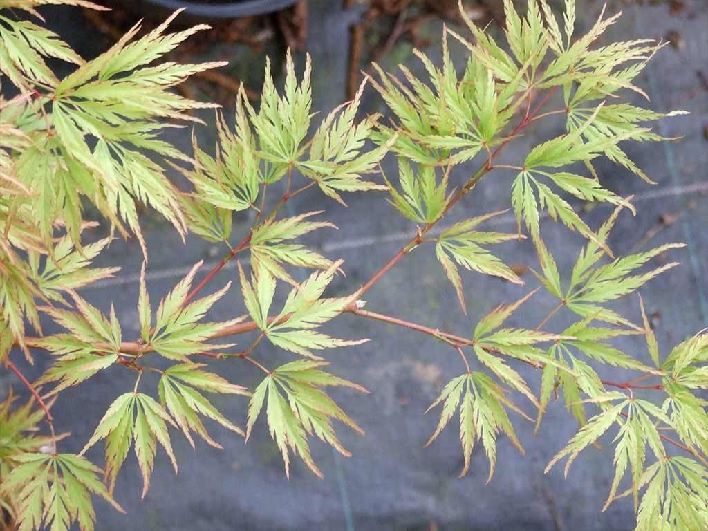 ACER - palmatum - Washi no o