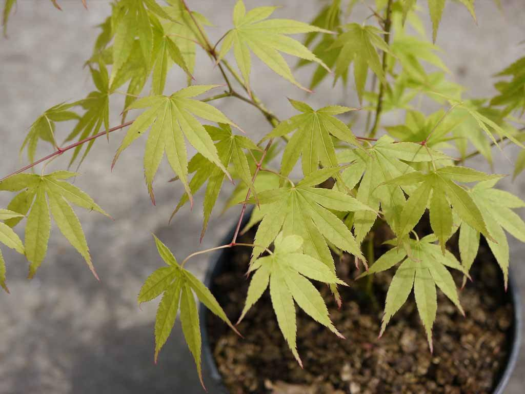 ACER - palmatum - Wakakusa yama