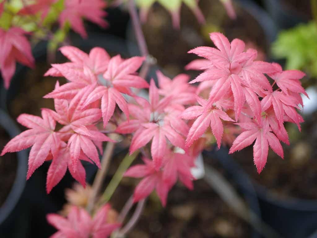 ACER - palmatum - Wetumka Red