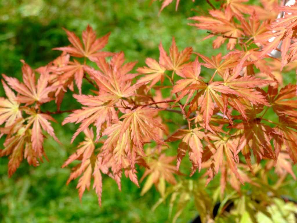 ACER - palmatum - Wou nishiki
