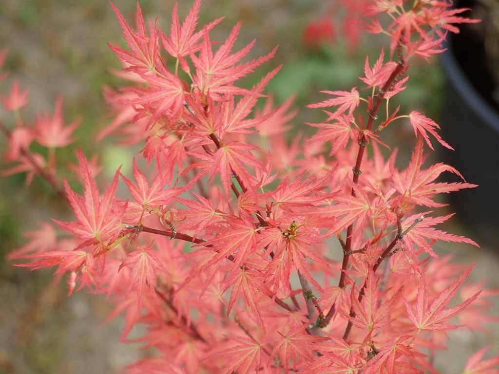 ACER - palmatum - Wilson´s Pink Dwarf