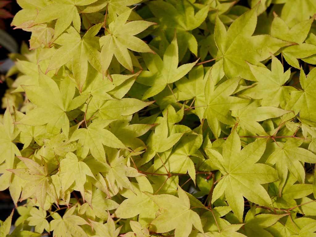 ACER - palmatum - Yellowbird