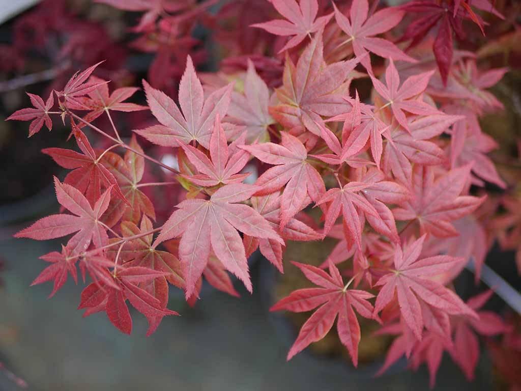 ACER - palmatum - Yeso nishiki