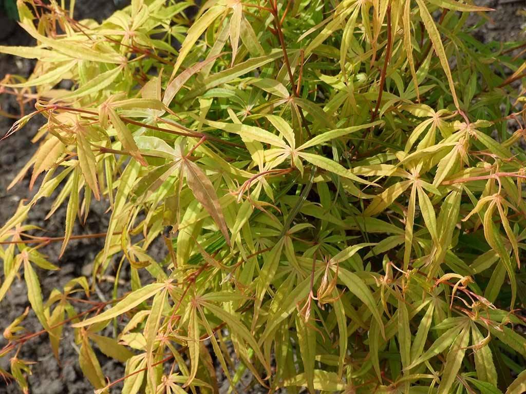 ACER - palmatum - Yamato koto ni ito