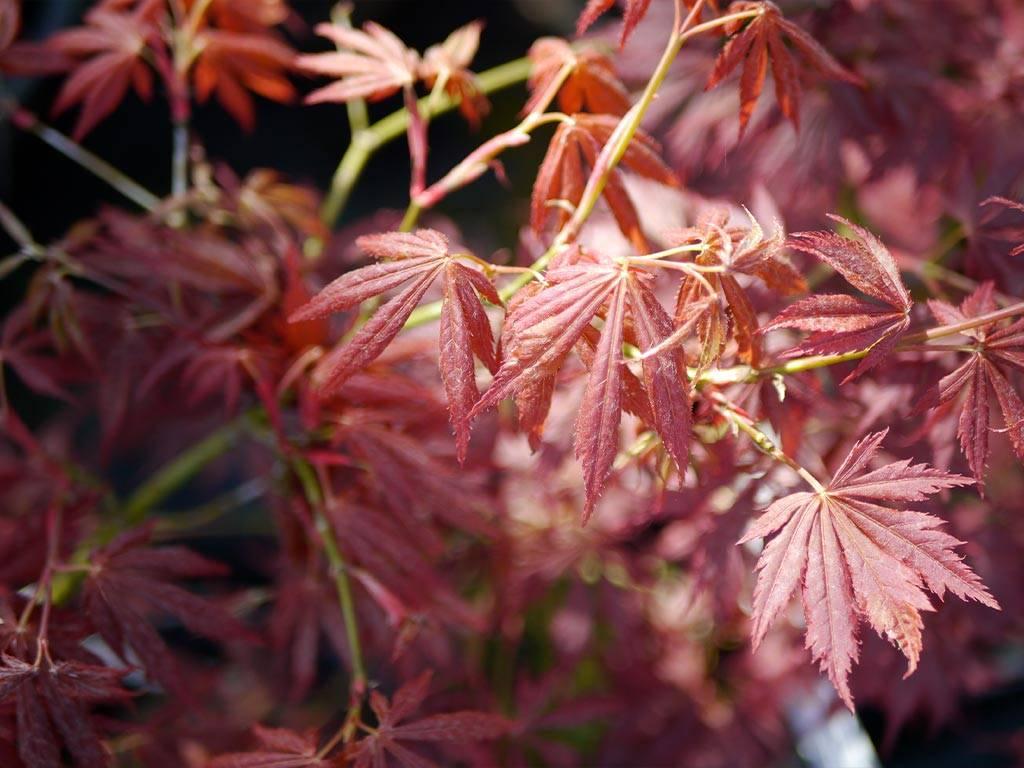 ACER - palmatum - Yama no suso