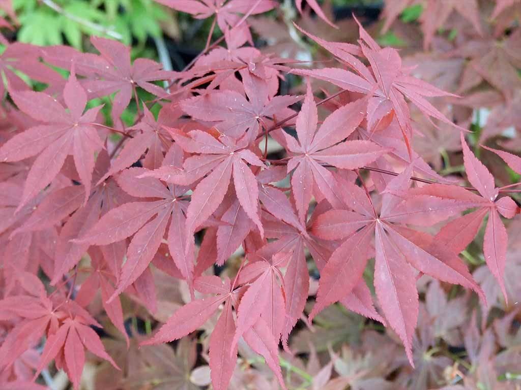 ACER - palmatum - Yubae
