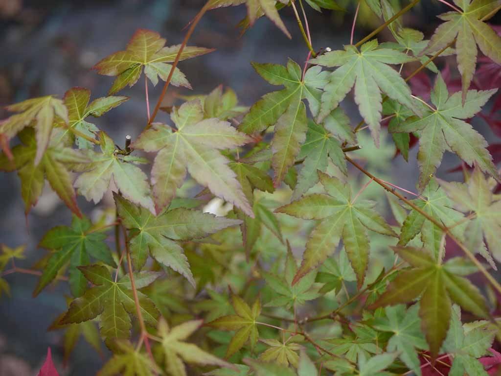 ACER - palmatum - Yufugi