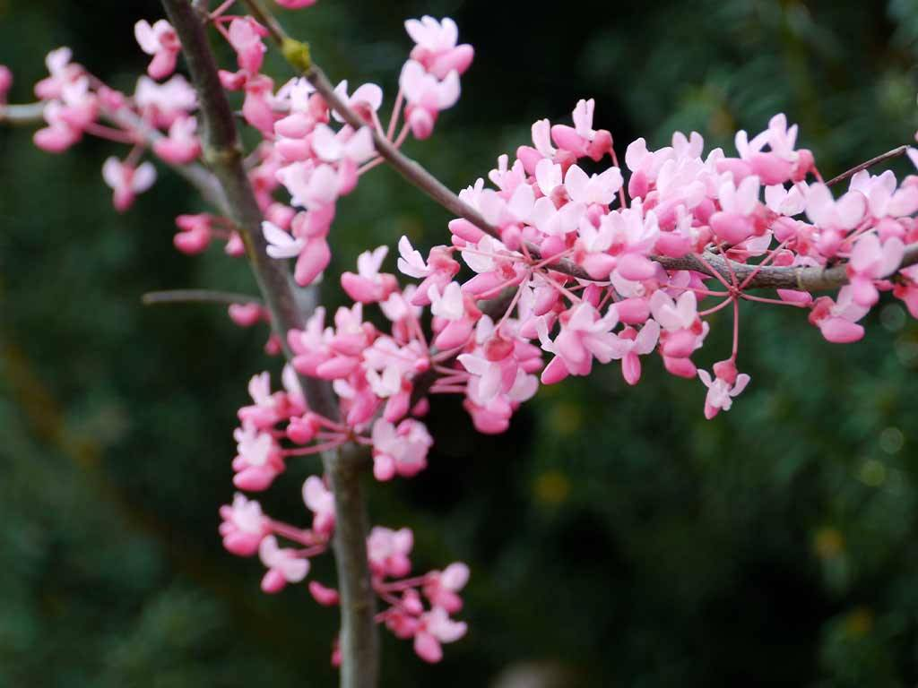 CERCIS - canadensis - Tennessee Pink