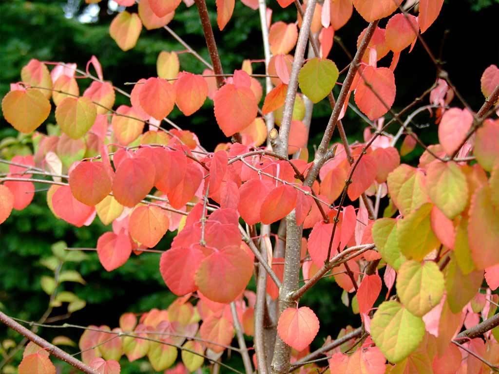 CERCIDIPHYLLUM - japonicum - Red Autumn Bunch