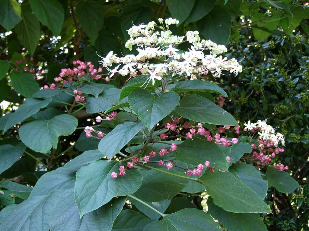 CLERODENDRON - trichotomum -