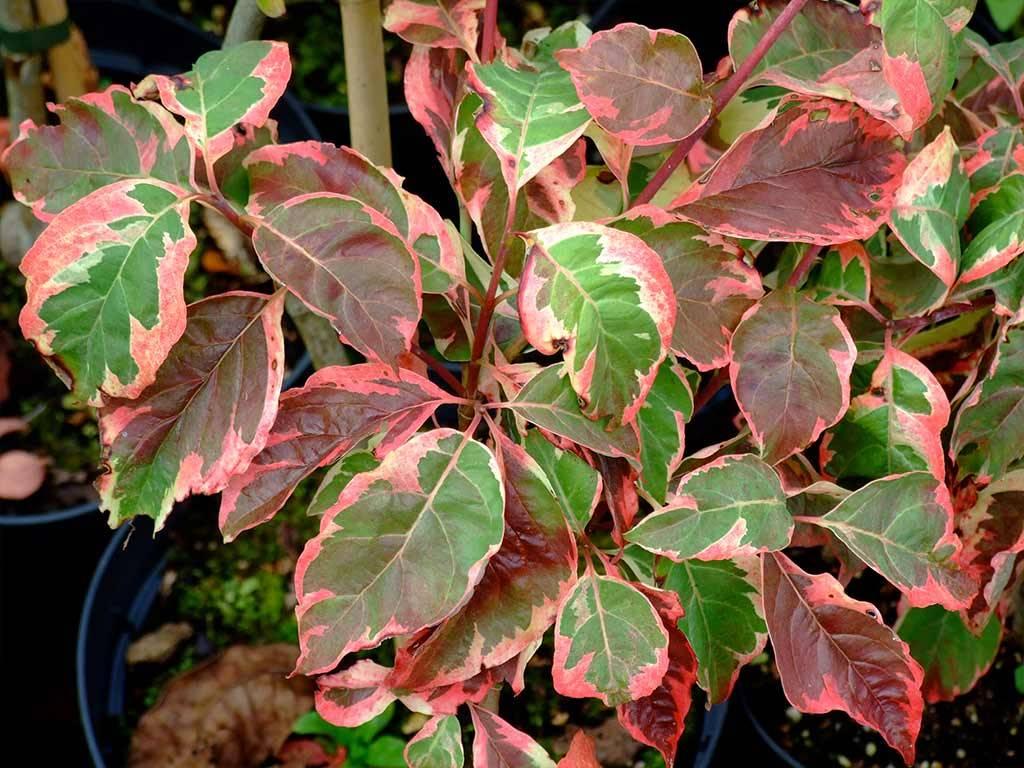 CORNUS - florida - Pink Flame