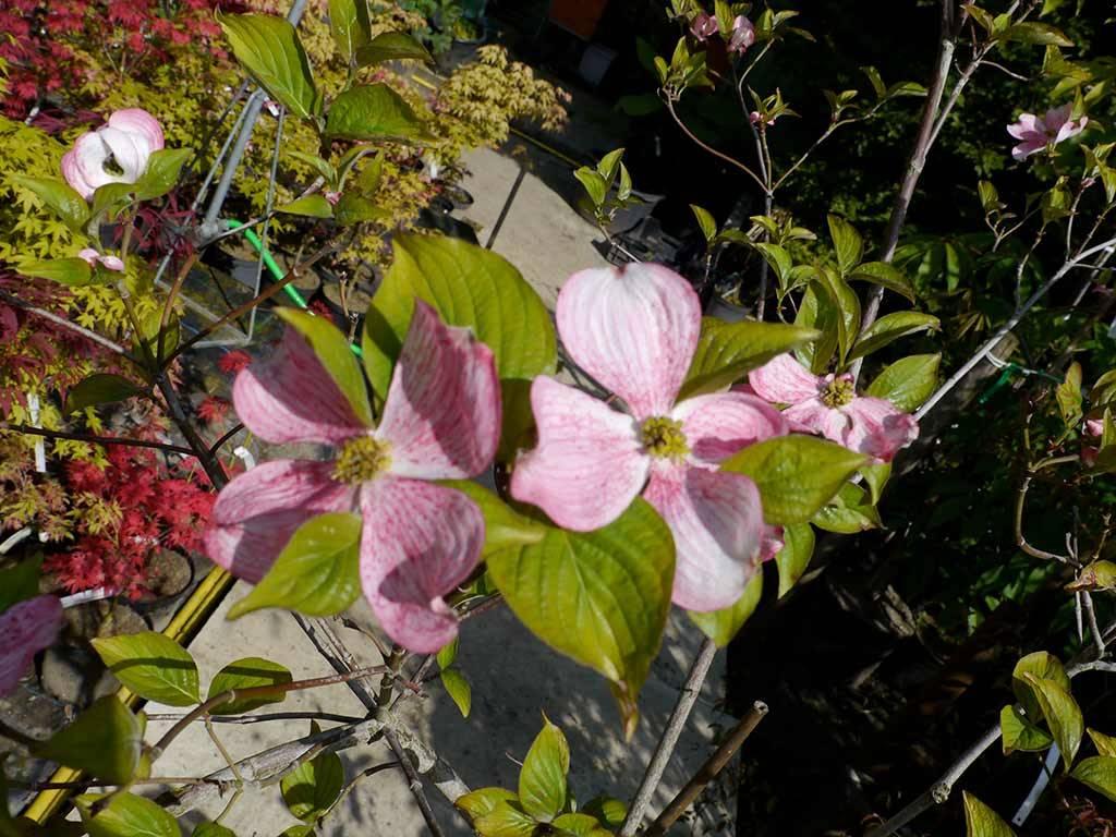 CORNUS - florida - Pink Temple