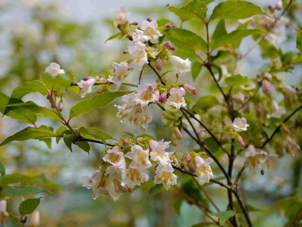 DIPELTA - yunnanensis -
