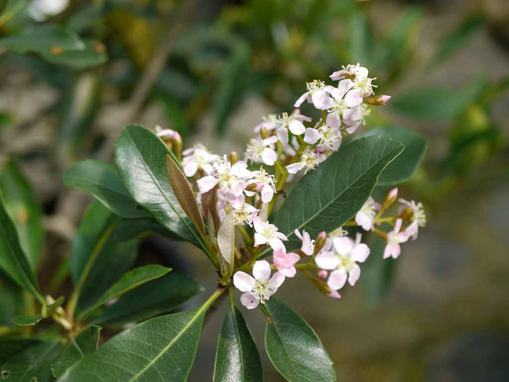 ERIOBOTRYA - japonica - Coppertone