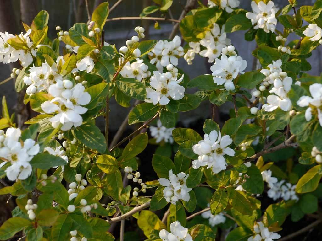 EXOCHORDA - serratifolia - Snow White