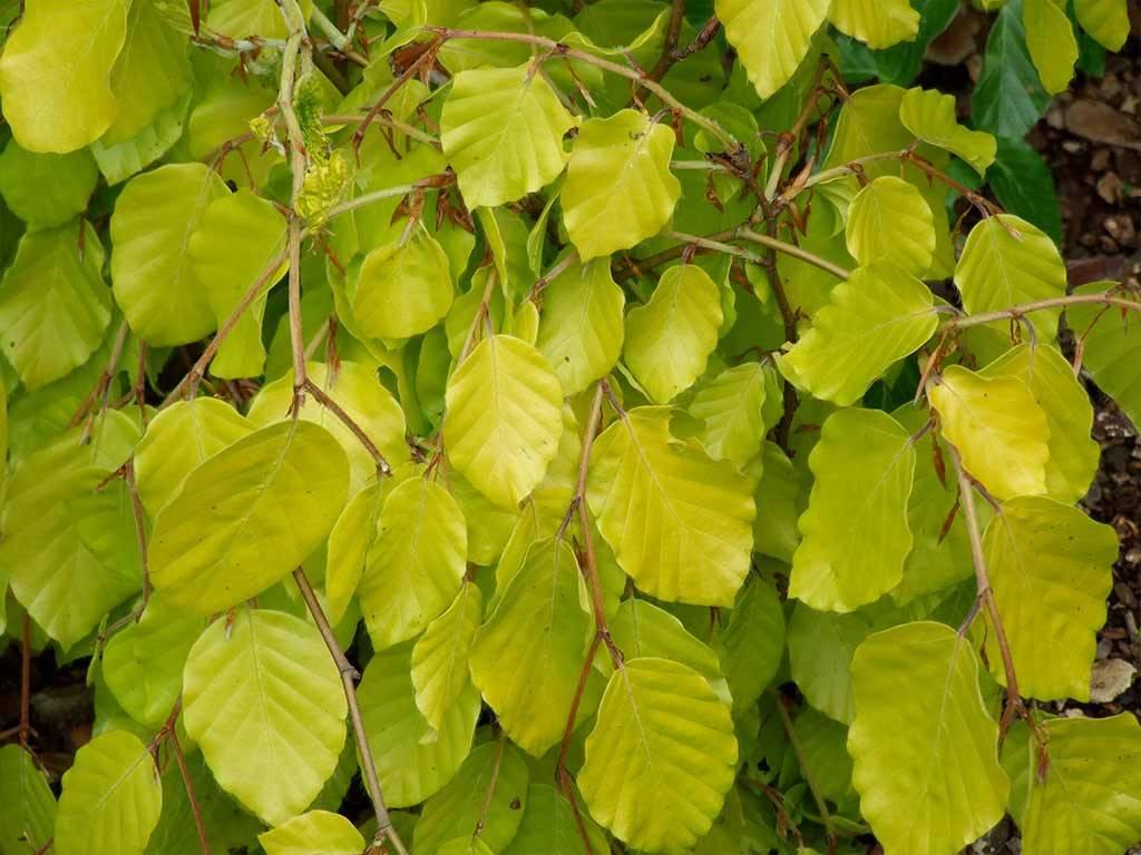 FAGUS - sylvatica - Aurea Pendula