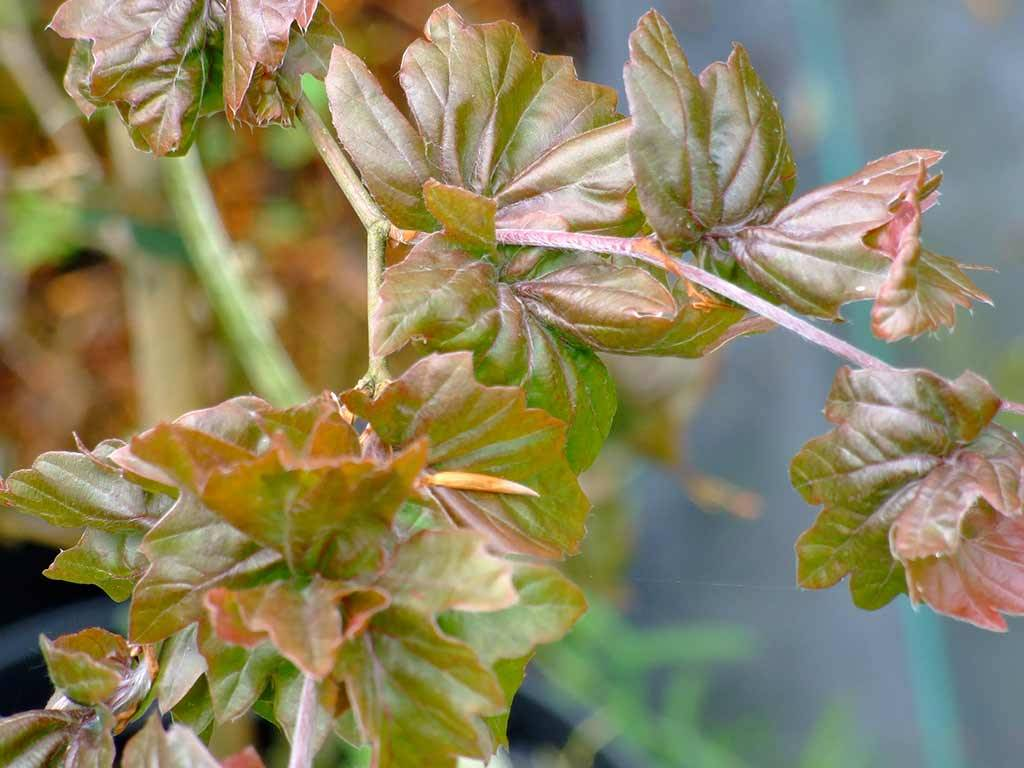 FAGUS - sylvatica - Bornyensis