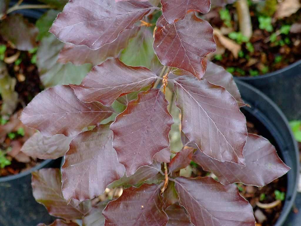 FAGUS - sylvatica - Purpurea Pendula