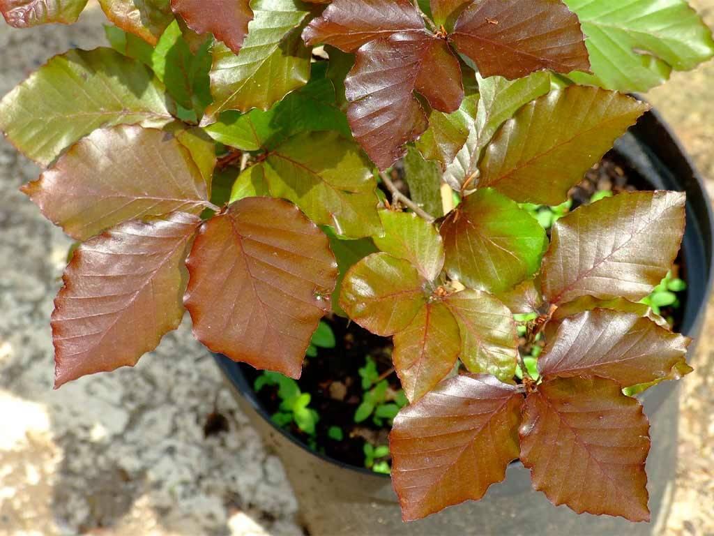 FAGUS - sylvatica - Tortuosa Purpurea