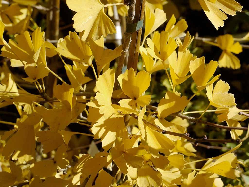 GINKGO - biloba - Tubifolia
