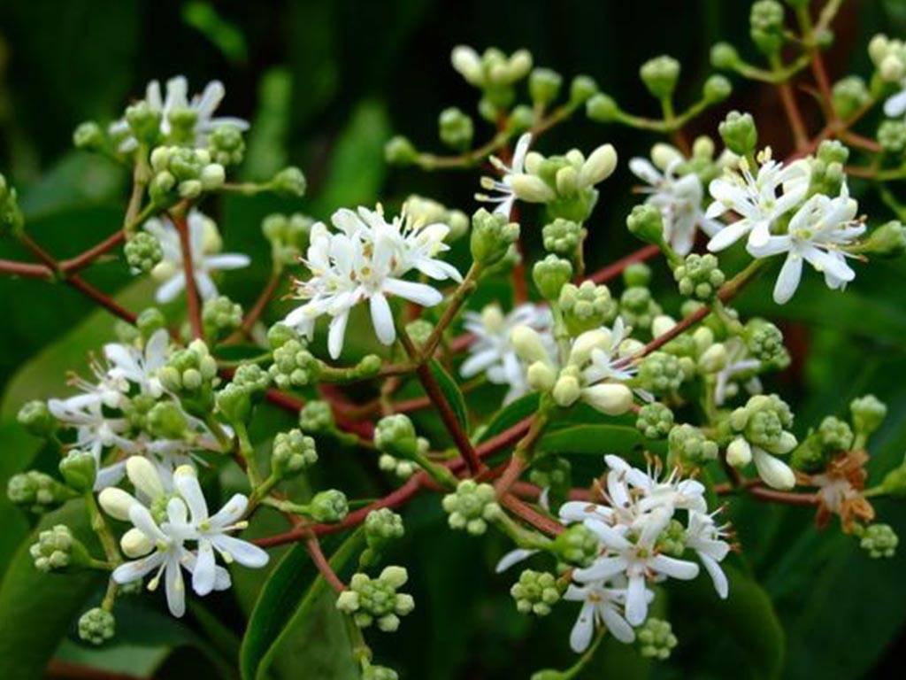 HEPTACODIUM - miconioides -