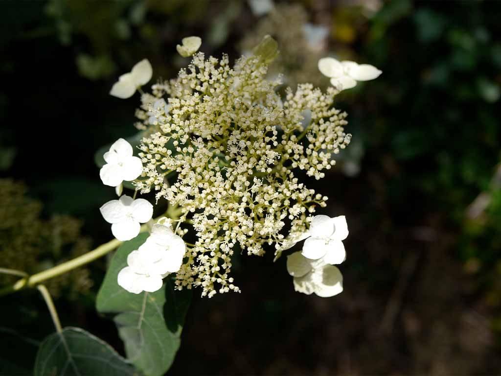 HYDRANGEA - arborescens - Samantha