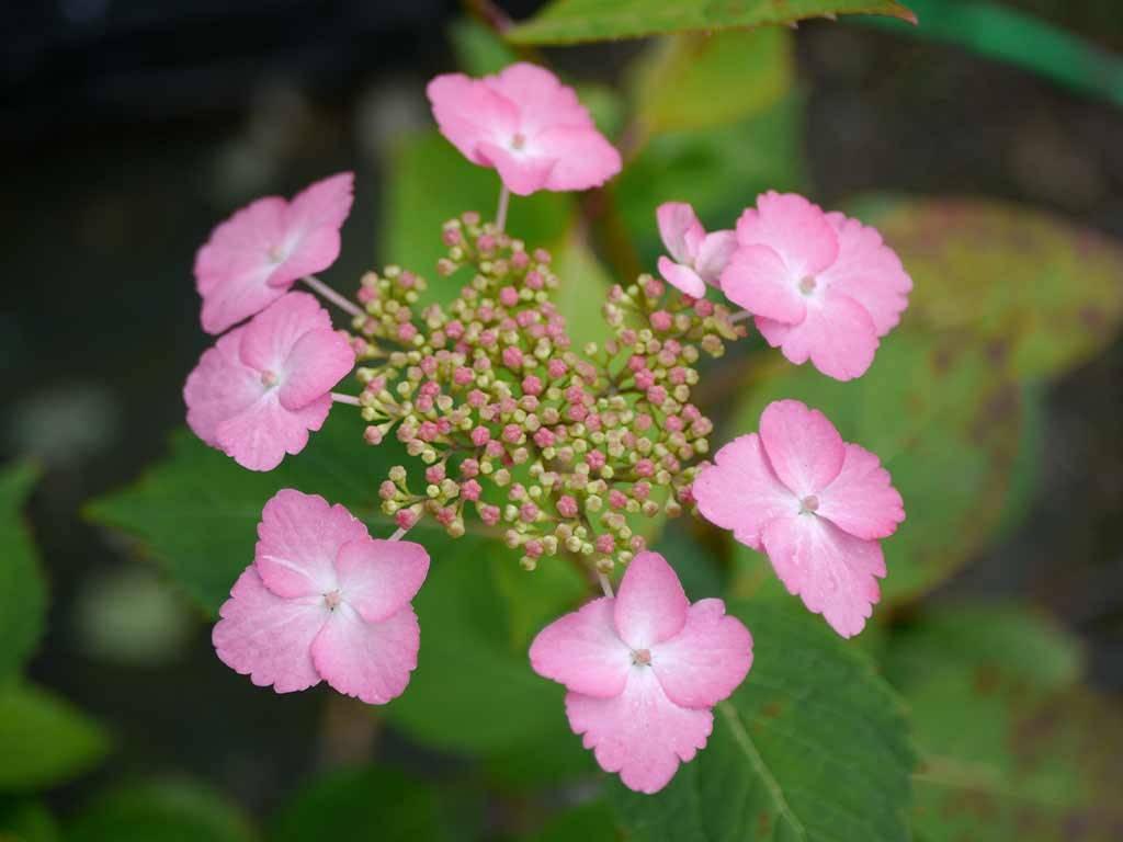 HYDRANGEA - macrophylla - Dancing Lady