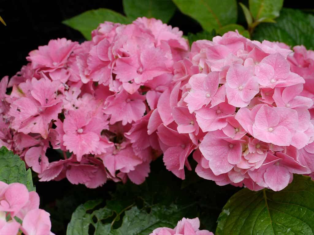 HYDRANGEA - macrophylla - Enziandom