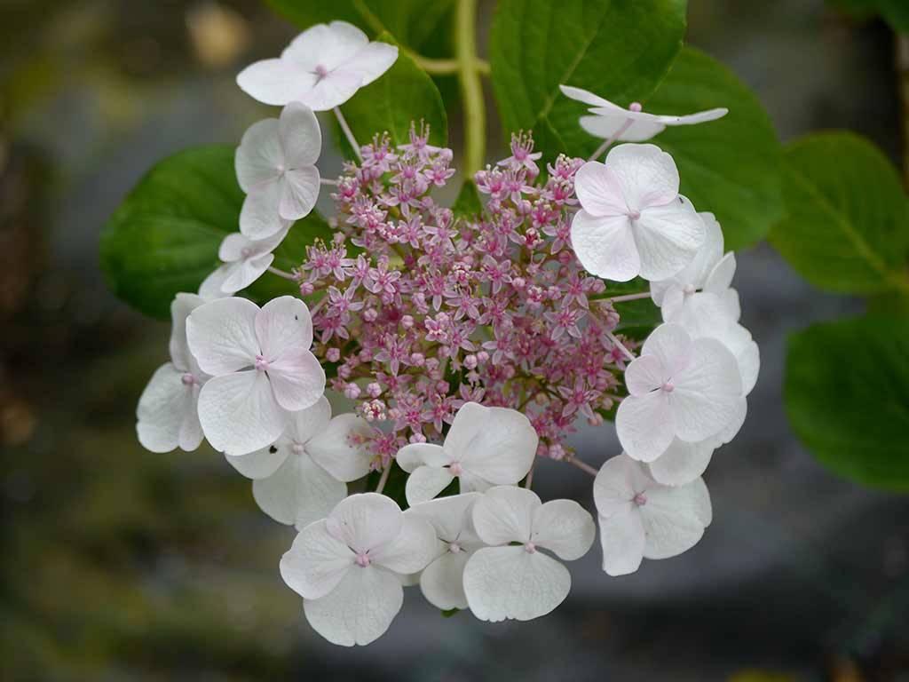 HYDRANGEA - macrophylla - Great Star