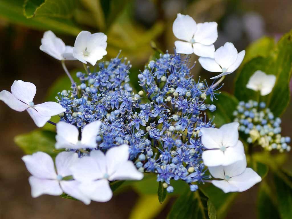 HYDRANGEA - macrophylla - Hatsu shime