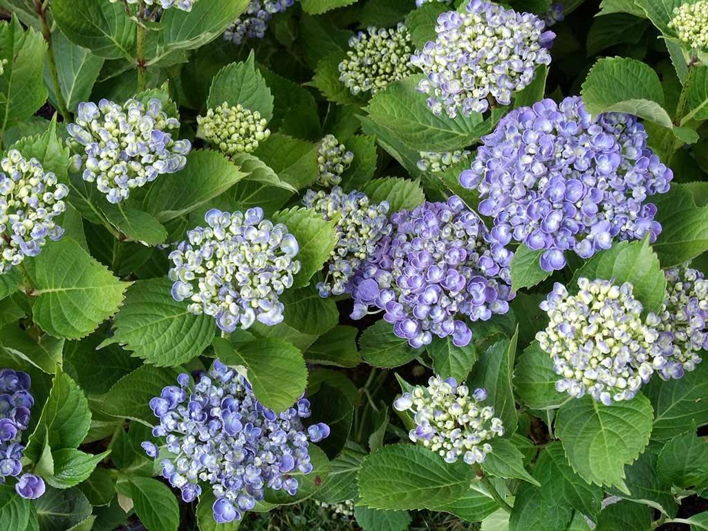 HYDRANGEA - macrophylla - Hopcorn