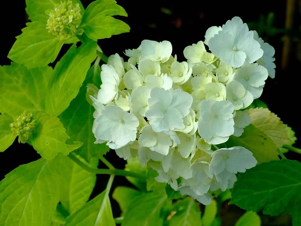 HYDRANGEA - macrophylla - Jofloma