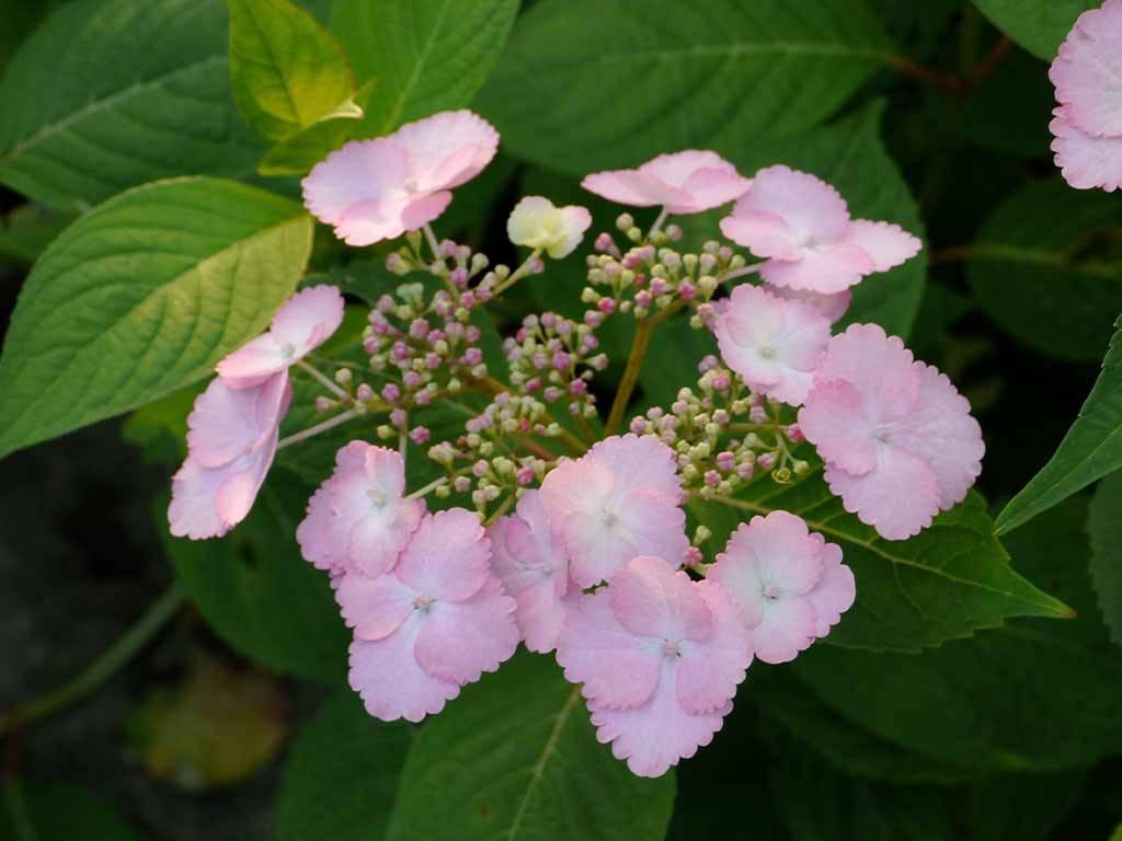 HYDRANGEA - macrophylla - Klaveren