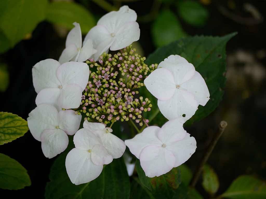 HYDRANGEA - macrophylla - Lanarth White