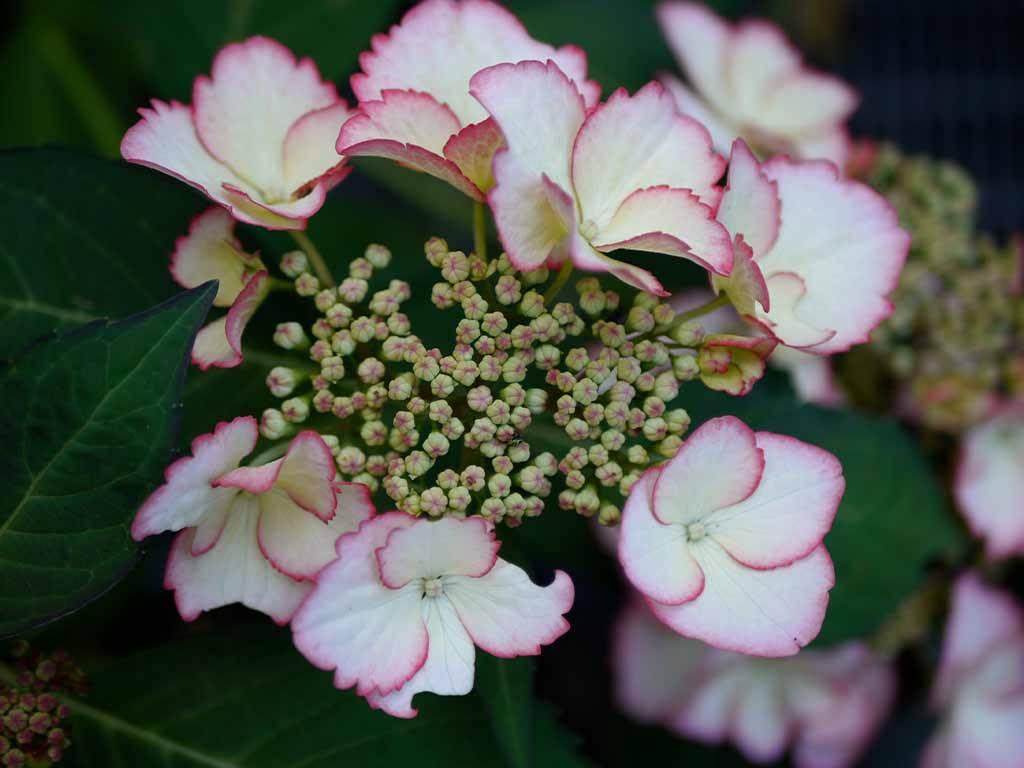 HYDRANGEA - macrophylla - Love you kiss