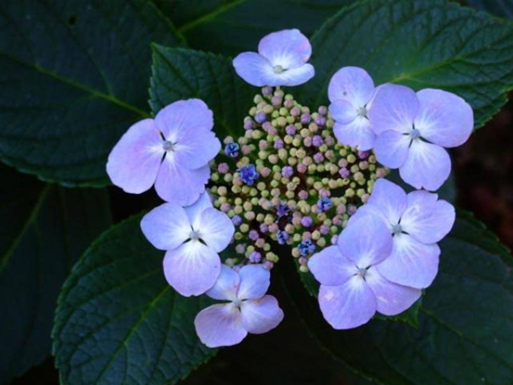 HYDRANGEA - macrophylla - Mariesii Perfecta