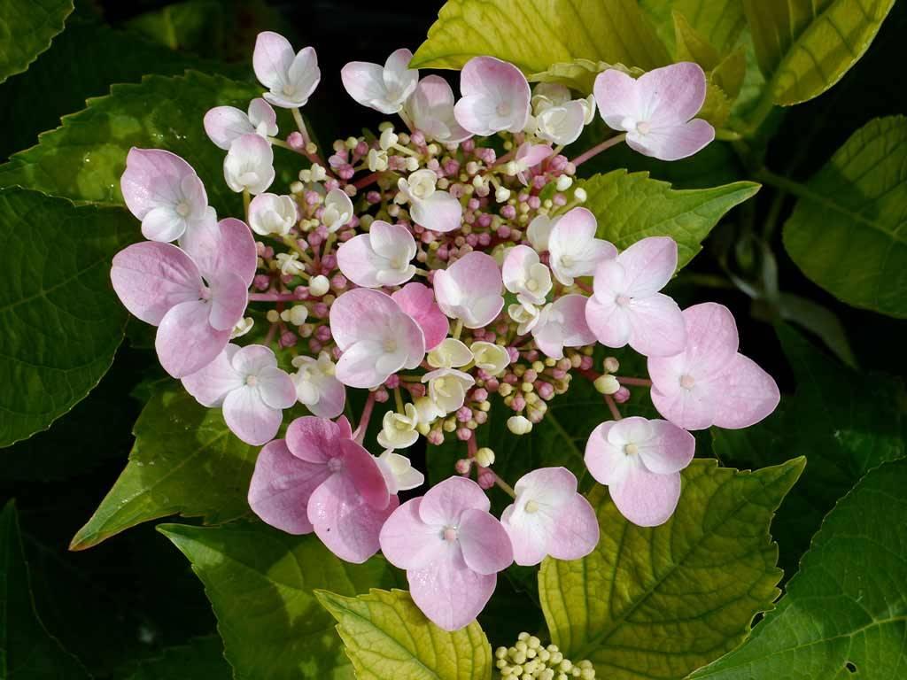HYDRANGEA - macrophylla - Messalina