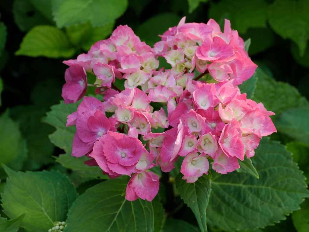 HYDRANGEA - macrophylla - Oregon Pride