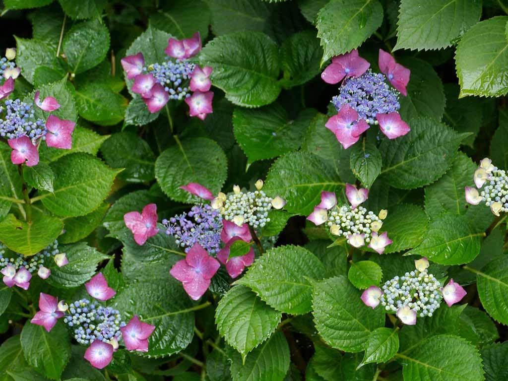 HYDRANGEA - macrophylla - Rotdrossel