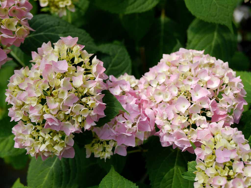 HYDRANGEA - macrophylla - Semperflorens