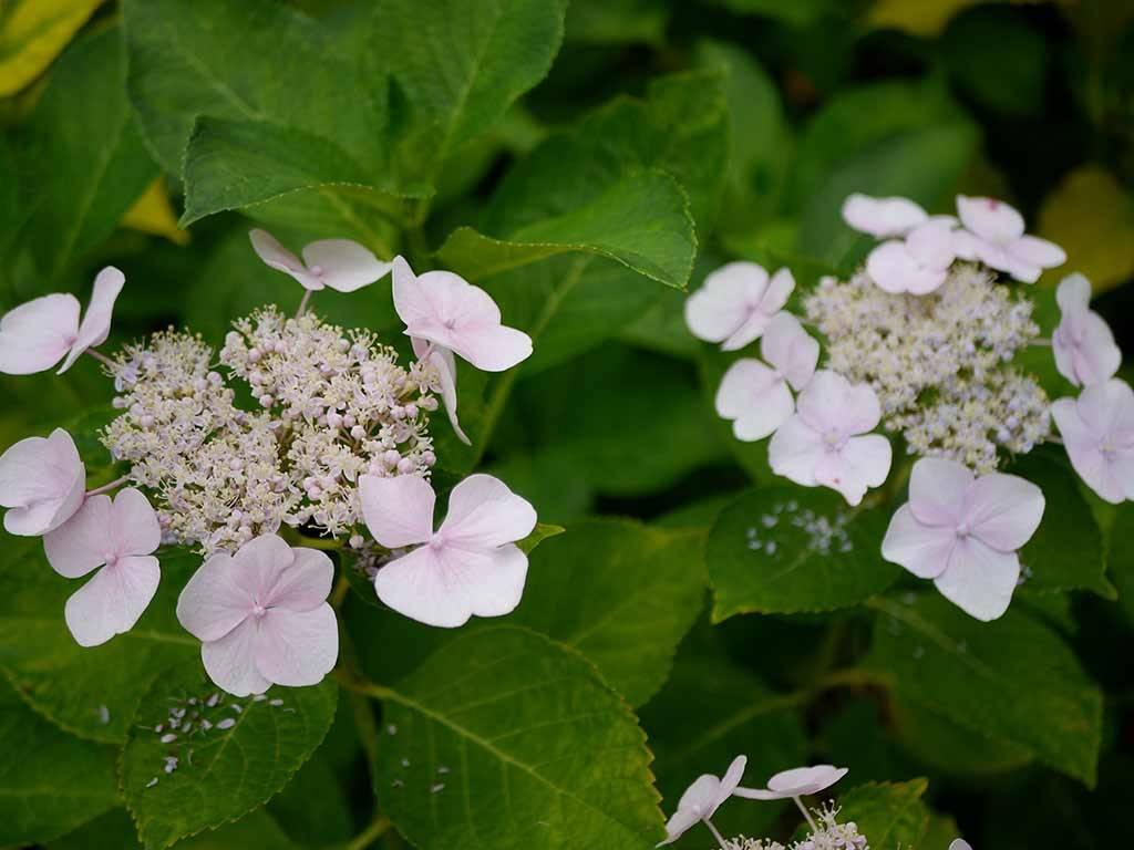 HYDRANGEA - macrophylla - Soraya